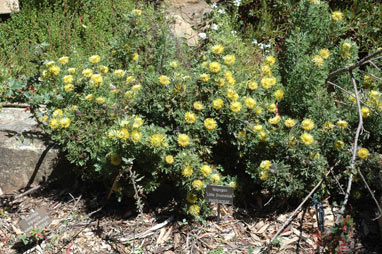 APII jpeg image of Isopogon anemonifolius 'Little Drumsticks'  © contact APII
