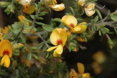 APII jpeg image of Pultenaea villosa  © contact APII