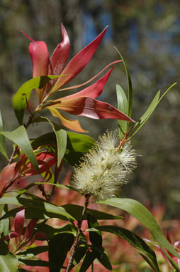APII jpeg image of Callistemon salignus 'Great Balls of Fire'  © contact APII