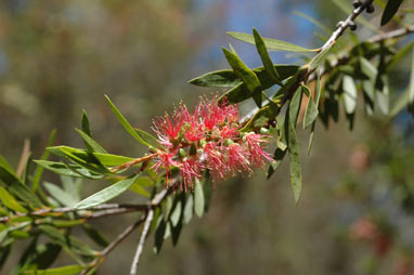 APII jpeg image of Callistemon 'Tin-Sal Glow'  © contact APII