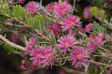 APII jpeg image of Melaleuca scabra  © contact APII