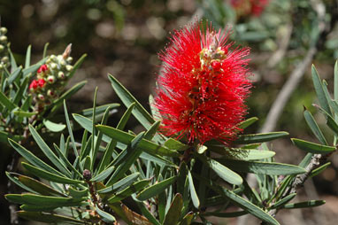 APII jpeg image of Callistemon glaucus  © contact APII