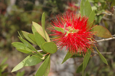 APII jpeg image of Callistemon citrinus 'Tyrian Rose'  © contact APII
