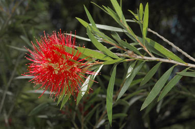 APII jpeg image of Callistemon viminalis 'Demesne Farm'  © contact APII
