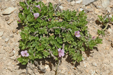 APII jpeg image of Gratiola peruviana  © contact APII