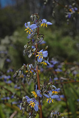 APII jpeg image of Dianella tasmanica  © contact APII