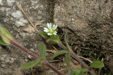 APII jpeg image of Cerastium vulgare  © contact APII