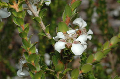 APII jpeg image of Leptospermum crassifolium  © contact APII