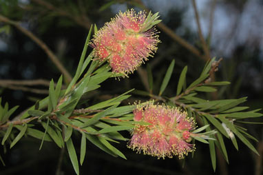 APII jpeg image of Callistemon 'Inverramsay'  © contact APII