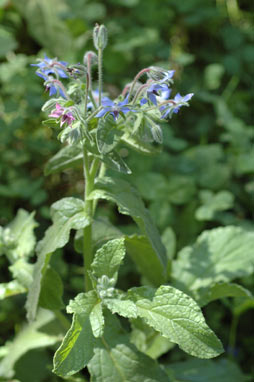 APII jpeg image of Borago officinalis  © contact APII