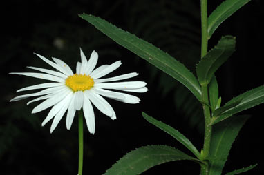 APII jpeg image of Leucanthemum x superbum  © contact APII