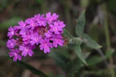APII jpeg image of Verbena rigida var. rigida  © contact APII