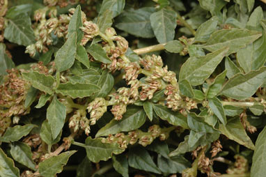 APII jpeg image of Amaranthus deflexus  © contact APII