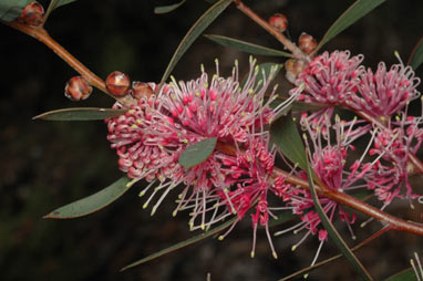 APII jpeg image of Hakea 'Kincora'  © contact APII