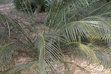 APII jpeg image of Macrozamia montana  © contact APII