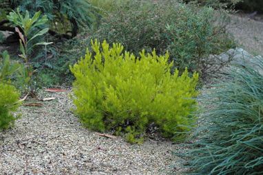 APII jpeg image of Persoonia  © contact APII