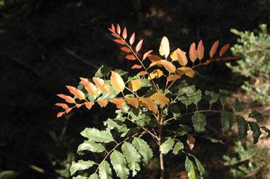 APII jpeg image of Cupaniopsis curvidentata  © contact APII