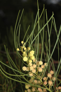 APII jpeg image of Acacia harveyi  © contact APII