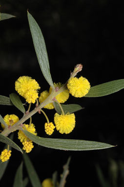 APII jpeg image of Acacia venulosa  © contact APII