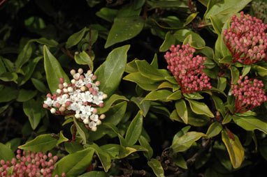 APII jpeg image of Viburnum tinus  © contact APII