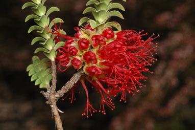 APII jpeg image of Beaufortia decussata  © contact APII