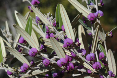 APII jpeg image of Hovea lanceolata  © contact APII