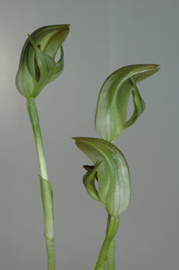 APII jpeg image of Pterostylis abrupta  © contact APII