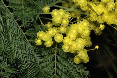 APII jpeg image of Acacia filicifolia  © contact APII