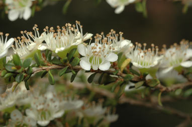 APII jpeg image of Leptospermum minutifolium  © contact APII