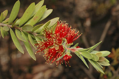 APII jpeg image of Callistemon 'Tinaroo Dazzler'  © contact APII
