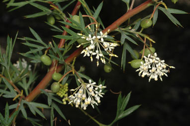 APII jpeg image of Grevillea phanerophlebia  © contact APII