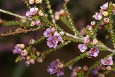 APII jpeg image of Thryptomene strongylophylla  © contact APII