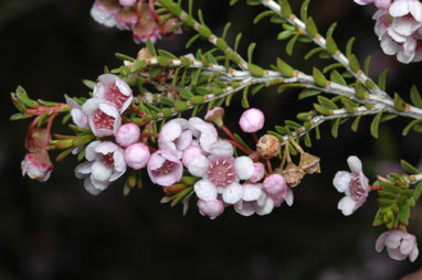 APII jpeg image of Thryptomene hyporhytis  © contact APII