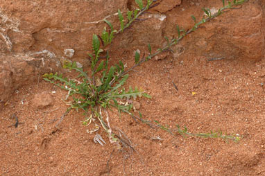 APII jpeg image of Sisymbrium runcinatum  © contact APII
