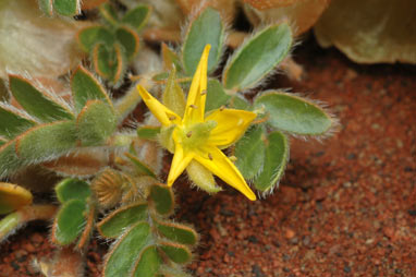 APII jpeg image of Tribulus hirsutus  © contact APII
