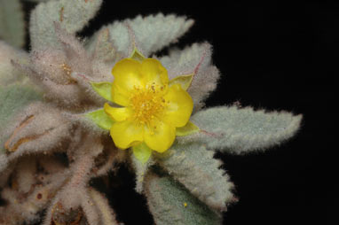 APII jpeg image of Corchorus incanus subsp. lithophilus  © contact APII