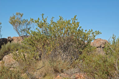 APII jpeg image of Acacia bivenosa  © contact APII