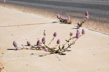 APII jpeg image of Ptilotus nobilis  © contact APII