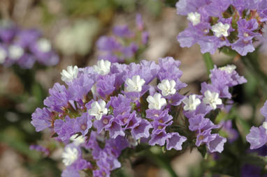 APII jpeg image of Limonium sinuatum  © contact APII