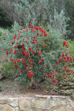APII jpeg image of Kunzea pulchella  © contact APII