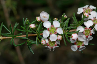 APII jpeg image of Thryptomene micrantha  © contact APII