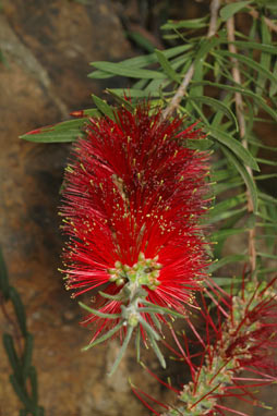 APII jpeg image of Callistemon linearis 'Pendulus'  © contact APII