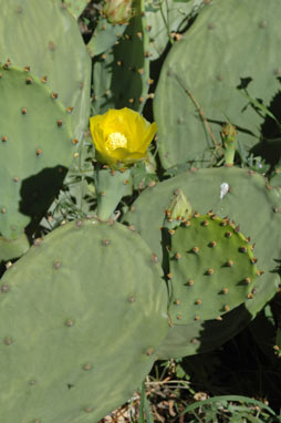 APII jpeg image of Opuntia stricta  © contact APII