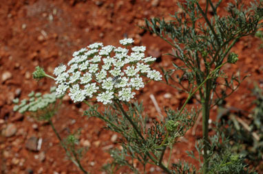 APII jpeg image of Ammi majus  © contact APII