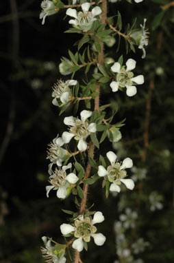 APII jpeg image of Leptospermum glabrescens  © contact APII