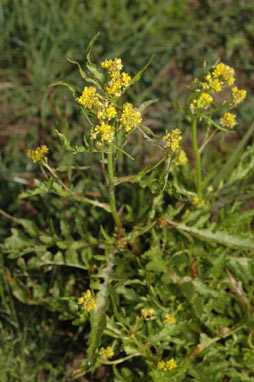 APII jpeg image of Rorippa palustris  © contact APII