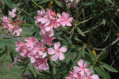 APII jpeg image of Nerium oleander  © contact APII