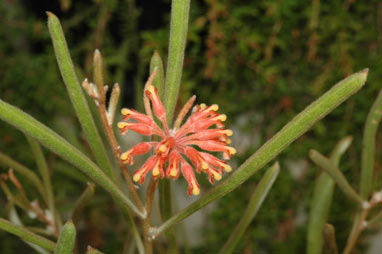 APII jpeg image of Grevillea fistulosa  © contact APII