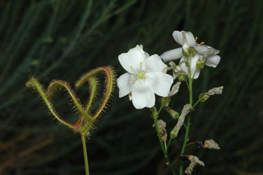 APII jpeg image of Drosera binata  © contact APII
