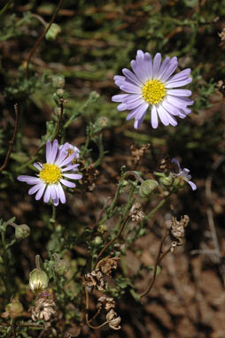 APII jpeg image of Brachyscome rigidula  © contact APII